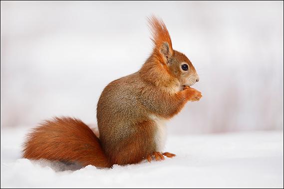 Eichhörnchen Fressen Vögel